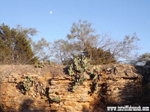 Moon over Opuntia