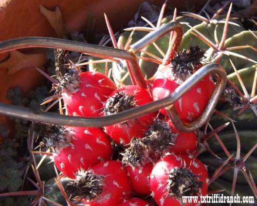 Plucking cactus fruit