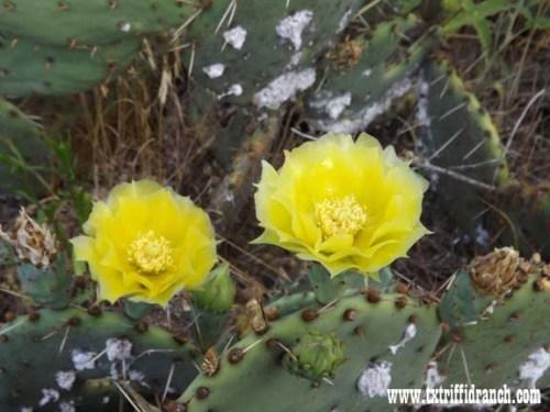 Opuntia flowers