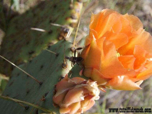 Orange Opuntia with ambush bug