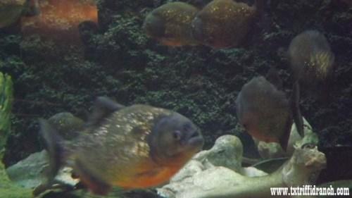 Red-bellied piranha