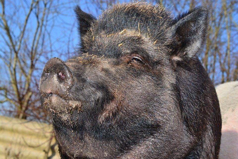 Texas Wild Pigs: Farm Destroyer or Free Bacon?