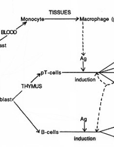 Immune defense against bacterial pathogens adaptive or acquired immunity also rh textbookofbacteriology