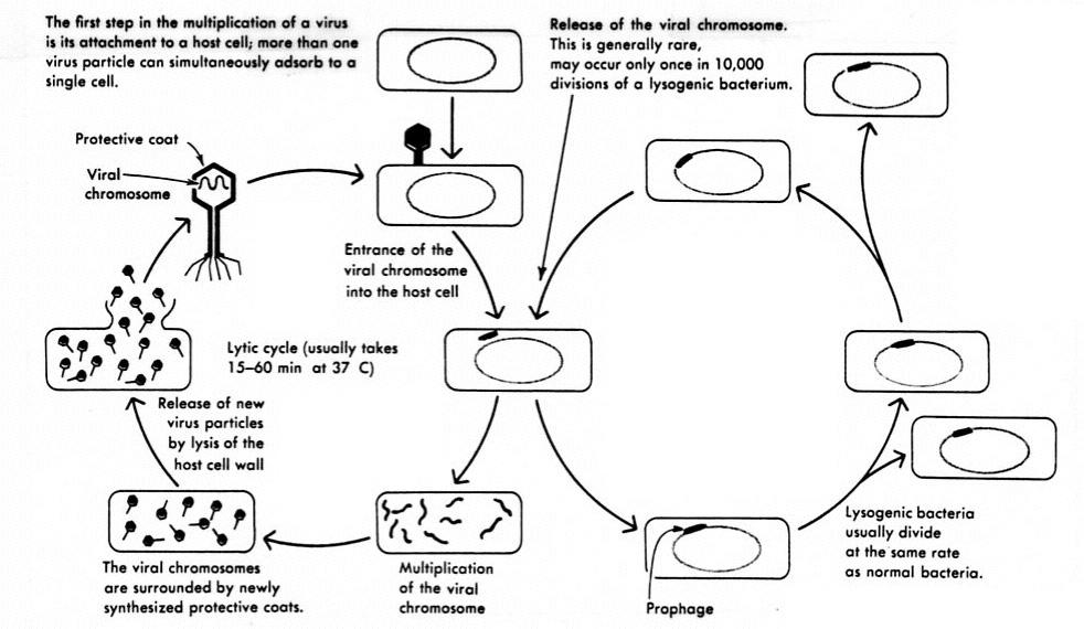 virus diagram worksheet speakon xlr wiring bacteriophage