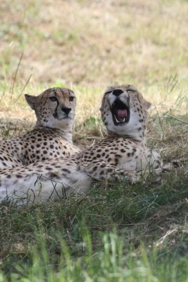 Gähnender Gepard im Kölner Zoo