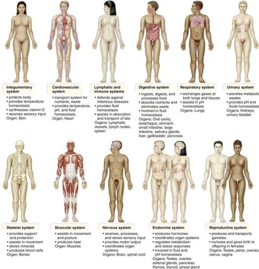 Human anatomy muscular system quizlet periodic diagrams science human anatomy muscle quizlet defenderauto info ccuart Choice Image