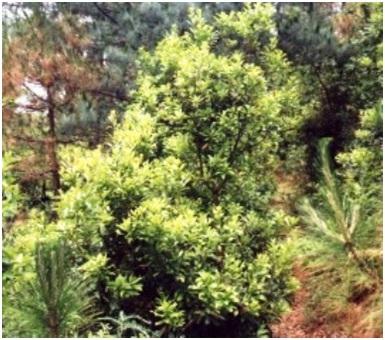 Myrica Nagi trees