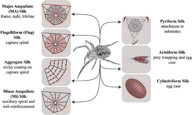 Decoding the key of spider silk
