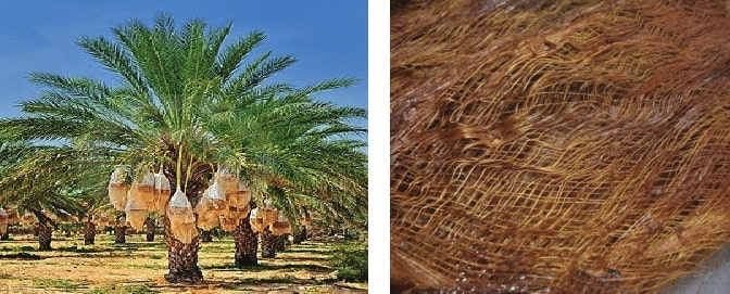 Date palm tree and fiber