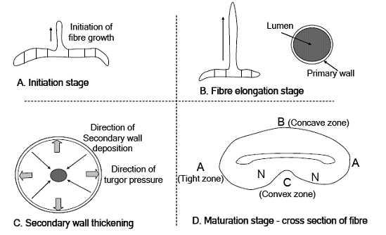 An illustration of various stages cotton fiber growth