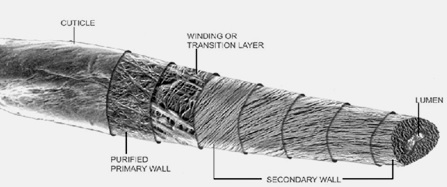 The morphological diagram of the cotton fibre