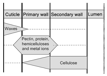 a schematic representation of the cellulosic and non-cellulosic materials in the cotton fiber