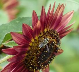 sunflower & friend