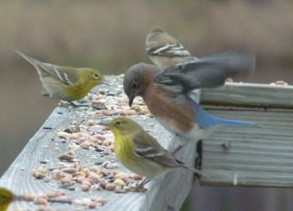 Eastern bluebird, 2 pine warblers, 1 goldfinch