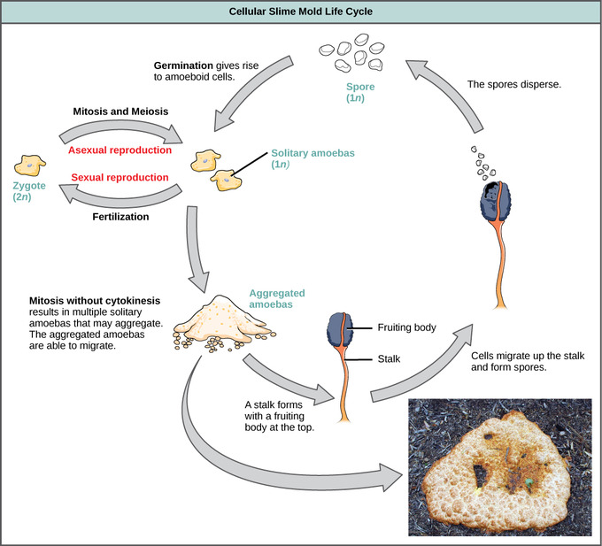 euglena cell diagram with labels ez go wiring characteristics of protists boundless biology