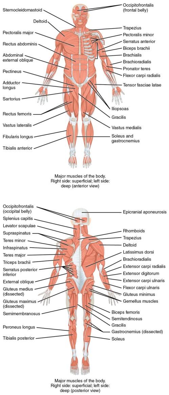 Body Cavity Blank Diagram Diagrams Of Body Cavities Wiring Diagrams