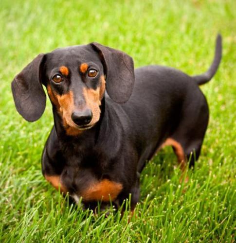 Длинная собака с длинными ушами - это что за порода?
