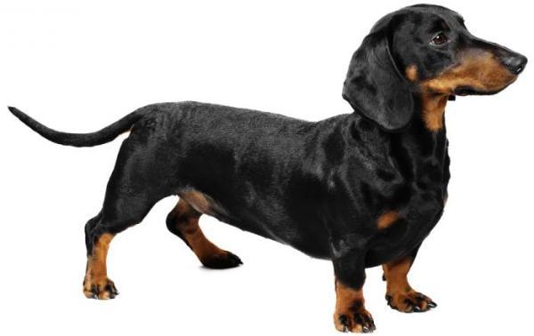 Красное пятно на животе у собаки: причины появления, разновидности