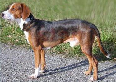 Немецкие породы собак: обзор и характеристики