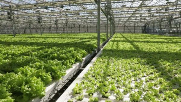 Круглогодичное выращивание зелени в теплице как бизнес