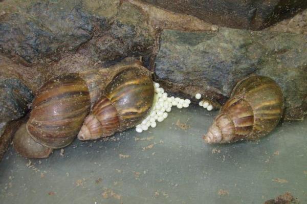 Улитки ахатины: размножение и уход за яйцами в домашних условиях