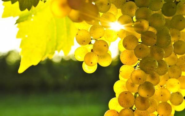Виноград «платовский»: описание и отзывы
