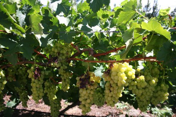 Виноград Гарольд: описание сорта, фото и отзывы