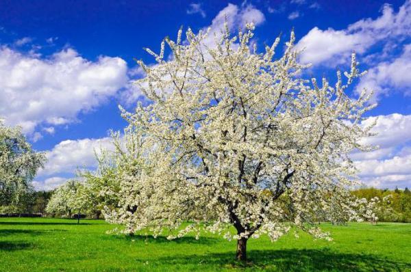 Когда пересаживают вишню - весной или осенью?