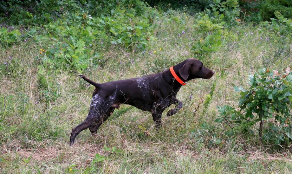 Обучение дрессировка охотничьей собаки
