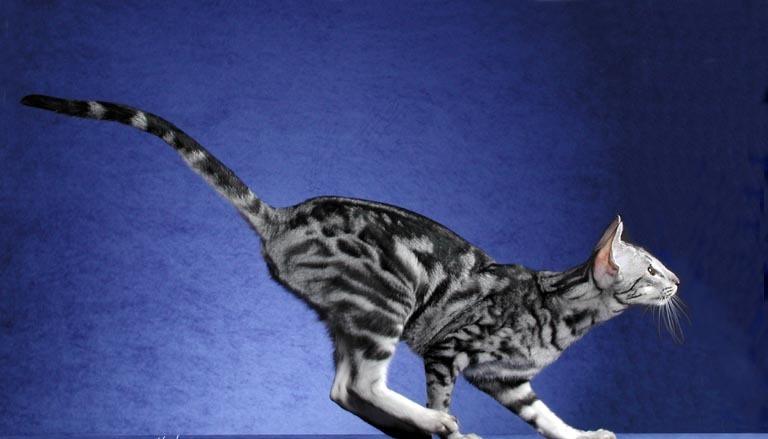 Описание ориентальной кошки