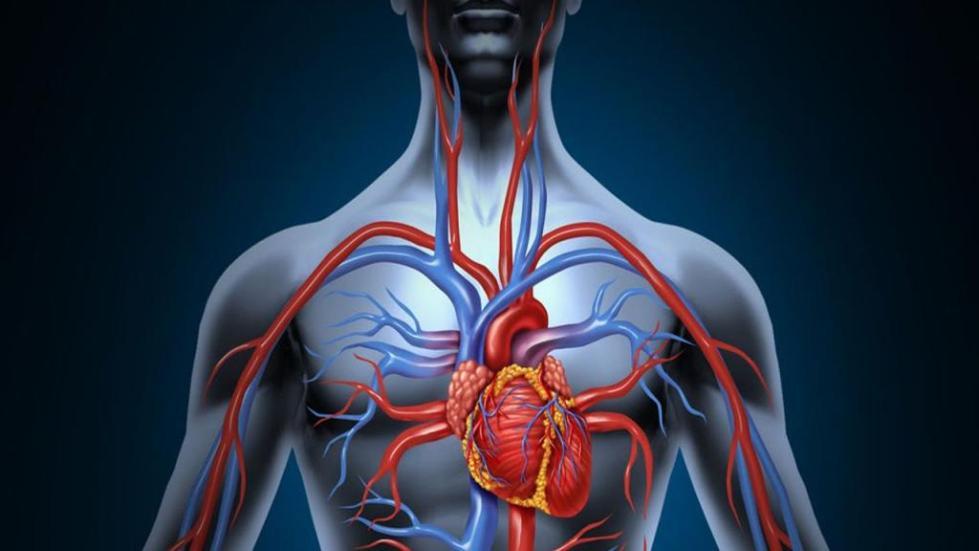 верхняя полая вена сердца