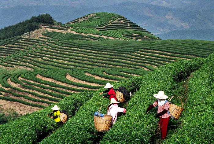 Сбор чая Пуэр