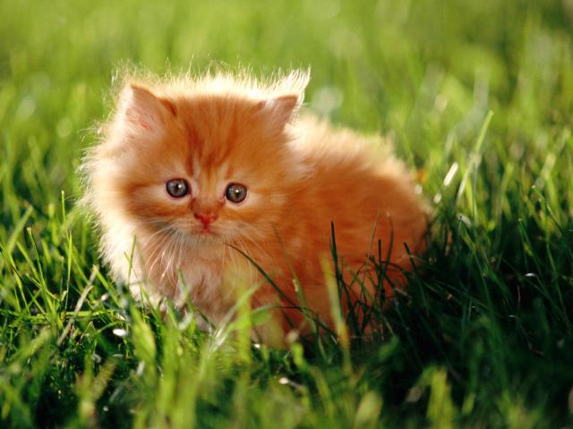 Красный котенок