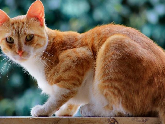 Рыжий кот с белыми пятнами