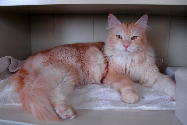 Светло-кремовая кошка