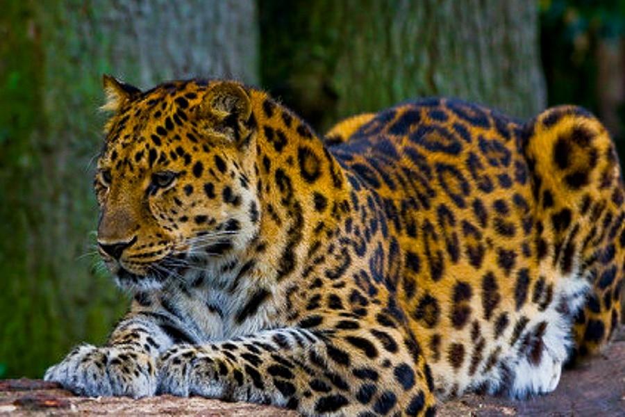 """Дальневосточный леопард в заповеднике """"Кедровая падь"""""""