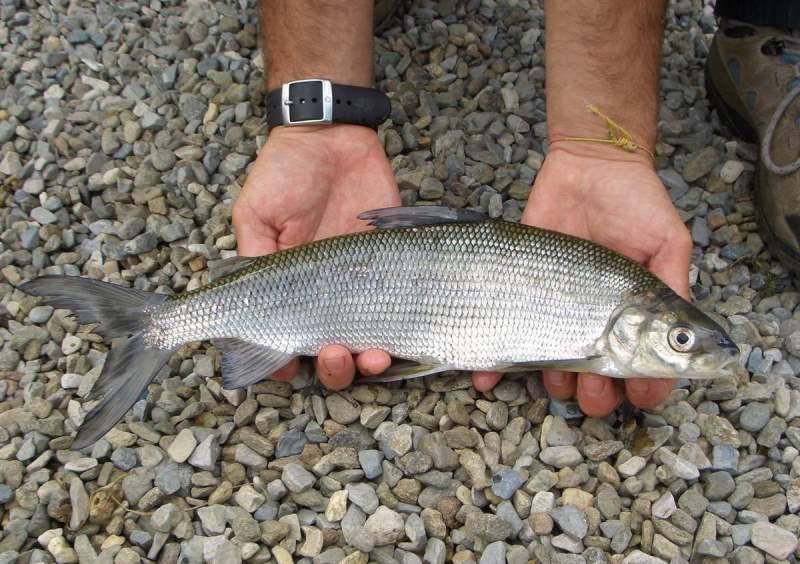 Сиг в руках рыбака