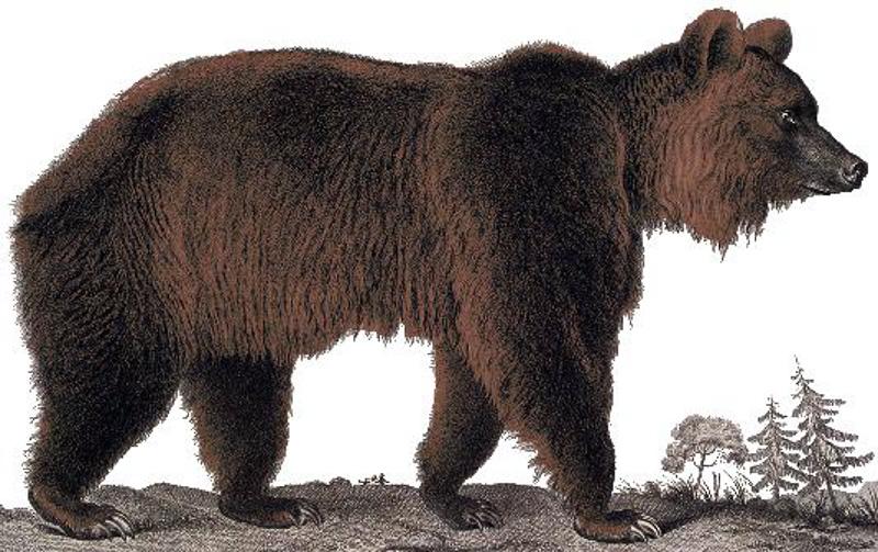 Атласский медведь