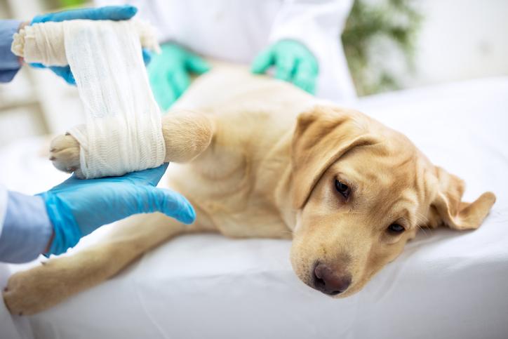 поведение собаки при дисплазии локтевого сустава
