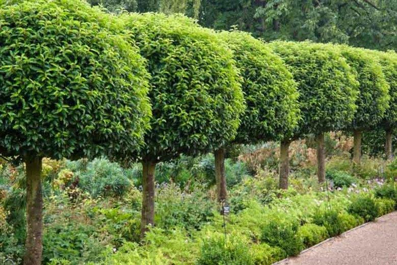 лавровые деревья
