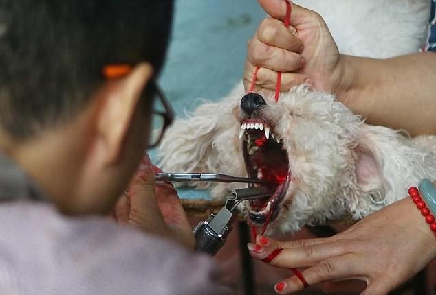 Собака после удаления голосовых связок