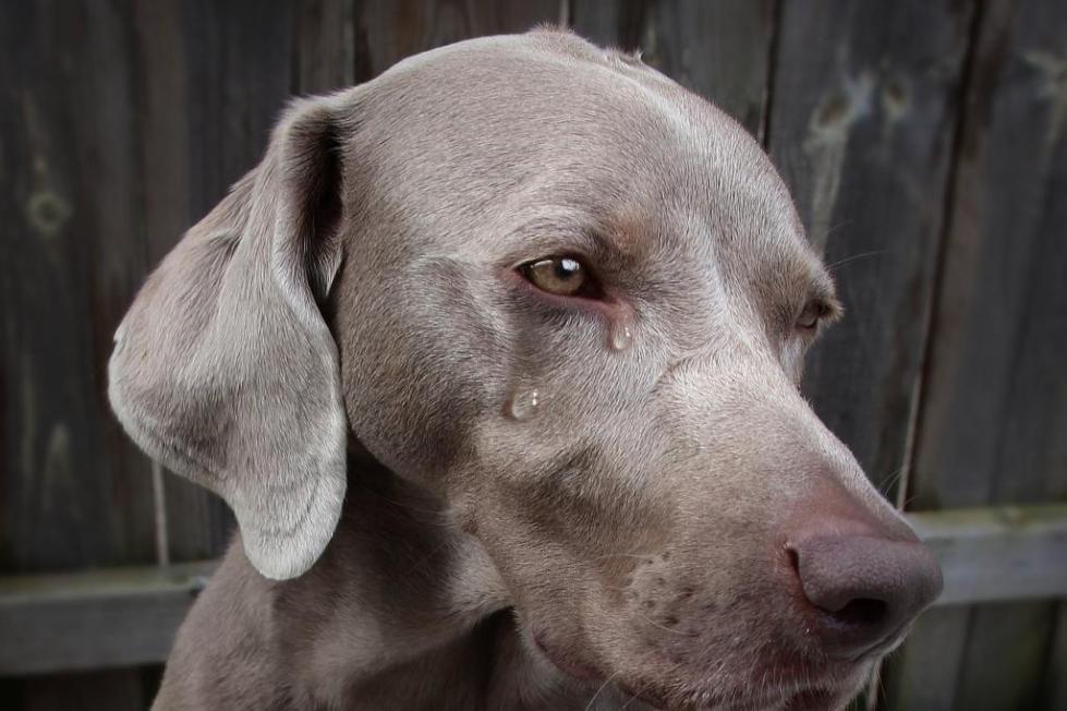 Процедура удаления голосовых связок у собак