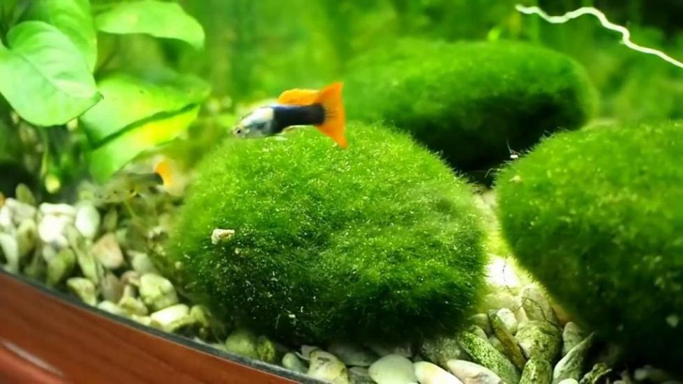 Шарики кладофоры в аквариуме