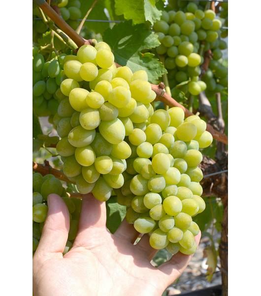 сорт винограда Фрумоаса Албэ