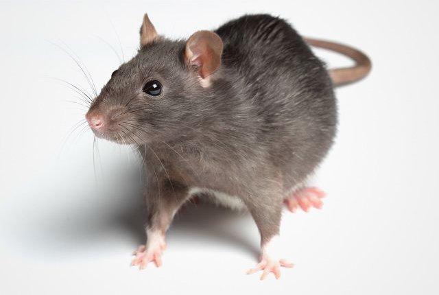 респираторный микоплазмоз крыс