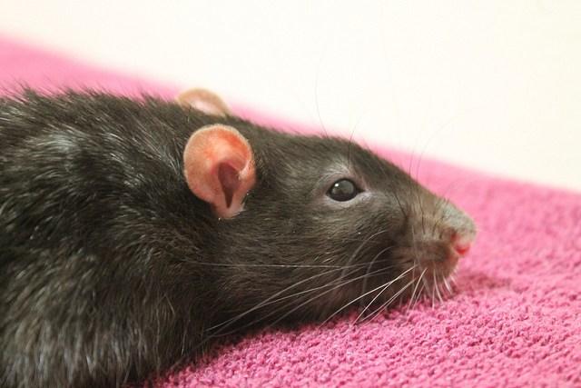 лечение микоплазмоза у крыс
