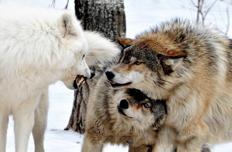 Трое волков перед дракой