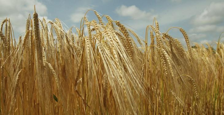 Зрелая яровая пшеница