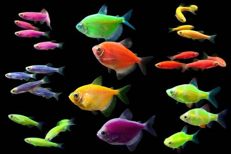 Разновидности рыбок GloFish