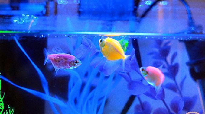 Светящиеся рыбки под ультрафиолетовой лампой